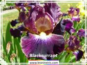 Intermediate%2FBlackcurrant%20.jpg
