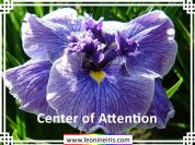 Japanese%20Iris%2FCenter%20of%20Attention%20.jpg