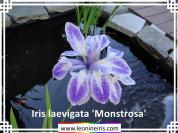 Species%20Iris%2FIris%20laevigata%20%27Monstrosa%27%20.jpg
