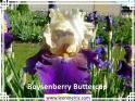 Boysenberry%20Buttercup%20.jpg