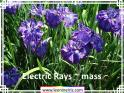 Electric%20Rays%20~%20mass%20.jpg
